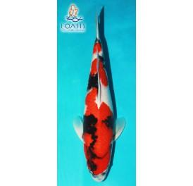 SHOWA_7_ANS_MALE_57CM_SEIKI_KOI_JAPON