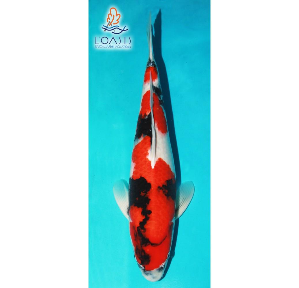 SHOWA_7_ANS_MALE_57CM_SEIKI_CARPE_KOI_JAPON